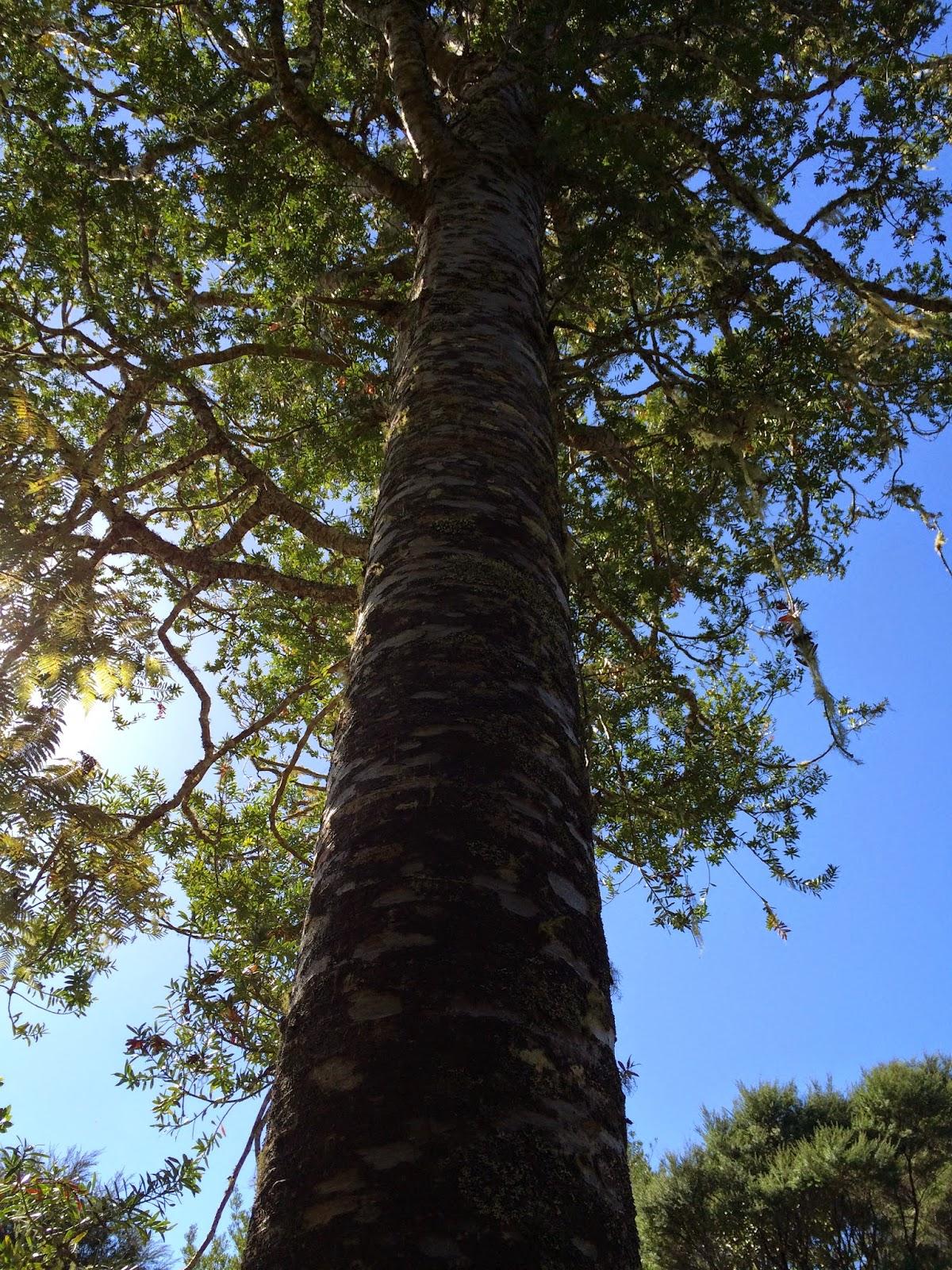 Aikido Koru Dojo Lynch Kauri Tree